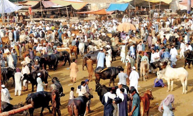 Customers purchase animals at a cattle market already present near Ghalla Mandi in Peshawar. — INP