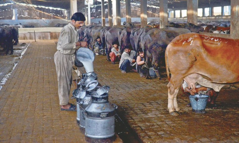 MILK is being collected at a city dairy farm.—Fahim Siddiqi / White Star