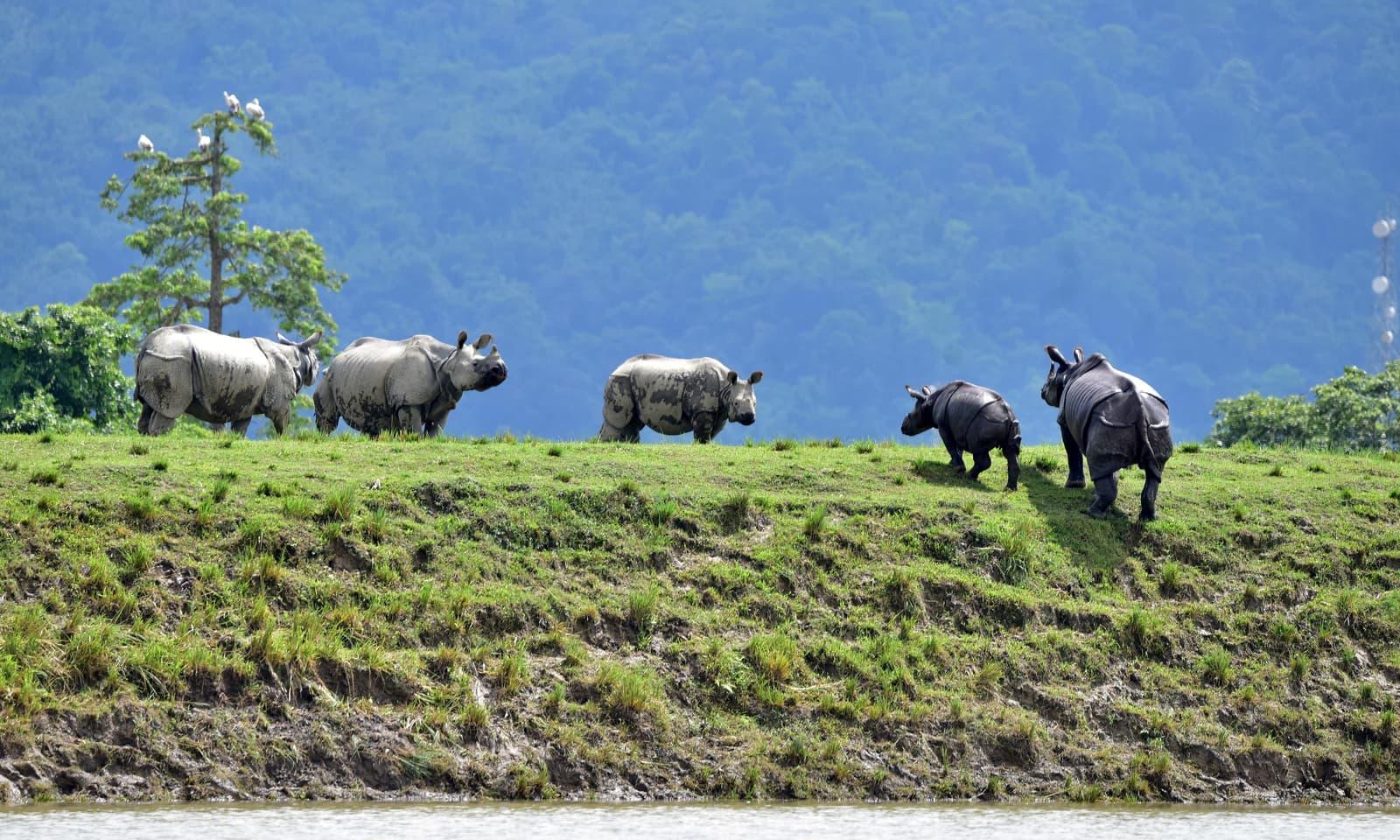 بھارتی ریاست آسام میں سیلاب کے بعد نیشنل پارک کے گینڈے اونچے مقام پر منتقل ہو رہے ہیں— فوٹو رائٹرز