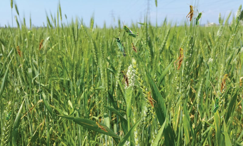 Locust control: potential challenges and solutions