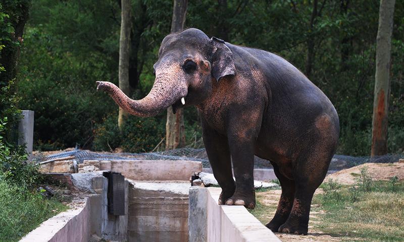 ہاتھی کی عمر 36 سال ہے اور وہ ابھی سے نفسیاتی مسائل کا شکار ہوگیا ہے، ملک امین اسلم — فائل فوٹو / اے ایف پی