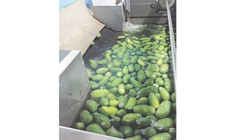 Mangoes are undergoing hot water treatment at a plant.