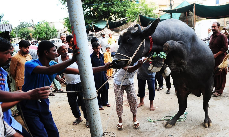 اسلام آباد کے تمام سیکٹرز میں قربانی کے جانوروں کی نقل و حرکت پر پابندی عائد