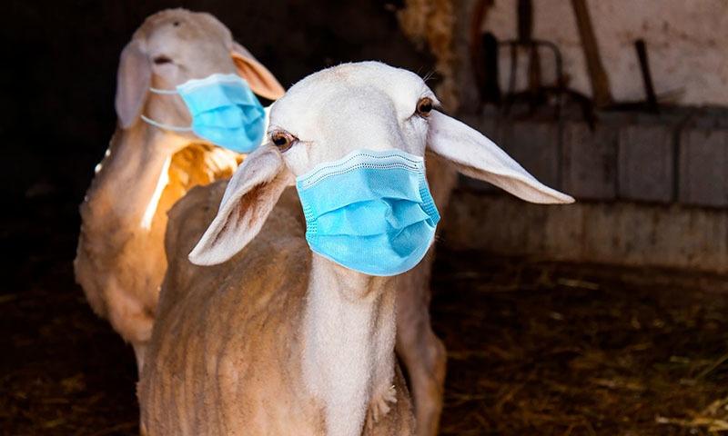 جانور خرید لیا؟ اب پہلی فرصت میں اسے ماسک پہنادیں— فوٹو: شٹر اسٹاک