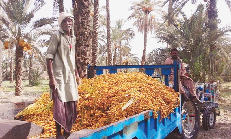 An elderly man loads a tractor trolley with dates in Khairpur. Pakistan is world's fifth largest producer of this fruit.