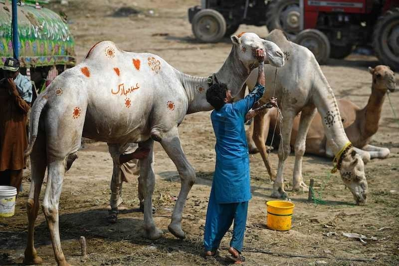 Livestock vendors wash a camel ahead of Eidul Azha, at a cattle market in Rawalpindi on July 28, 2020. — AFP