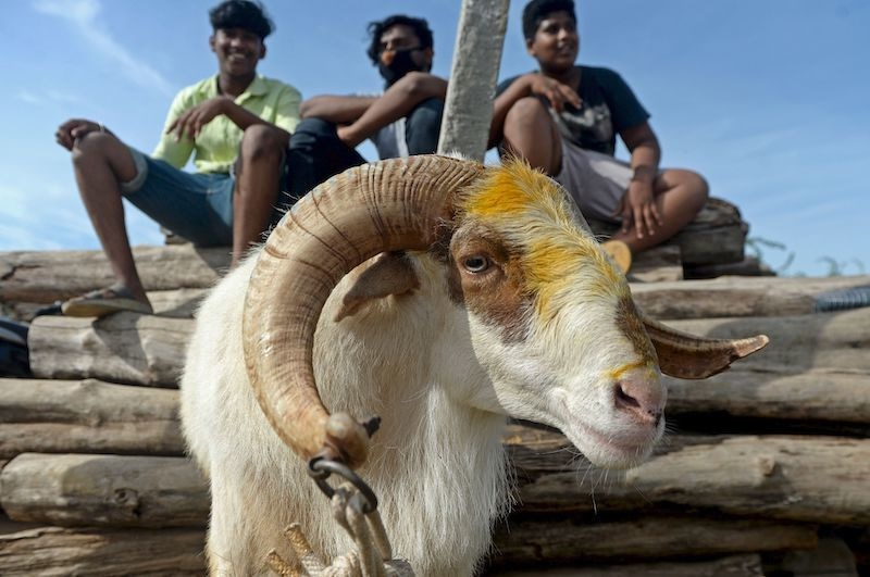 Livestock vendors wait for customers to sell goats and sheep ahead of Eidul Azha at a ground in Chennai on July 28, 2020. — AFP