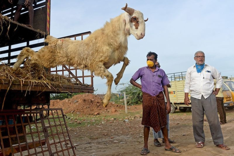 Livestock vendors unload sheep from a truck ahead Eidul Azha at a ground in Chennai on July 28, 2020. — AFP