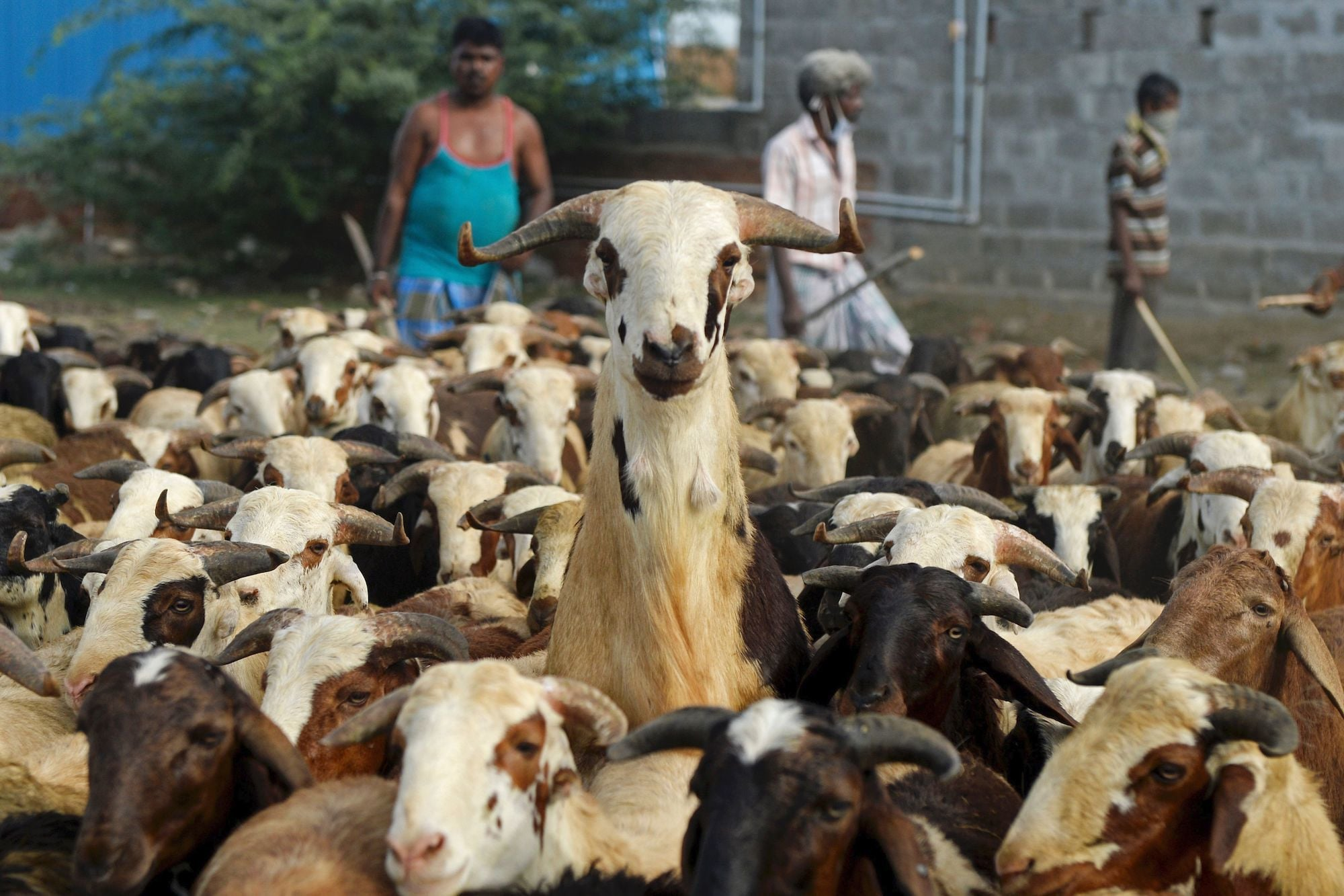 Livestock vendors wait for customers to sell goats and sheep ahead of the Muslim festival of Eid al-Adha at a ground in Chennai on July 28, 2020. - Eid al-Adha, feast of the sacrifice, marks the end of the Hajj pilgrimage to Mecca and commemorates Prophet Abraham's readiness to sacrifice his son to show obedience to Allah. (Photo by Arun SANKAR / AFP) — AFP or licensors
