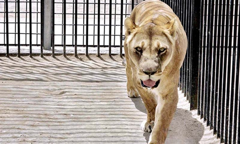 Lioness dies while being moved to Lahore sanctuary