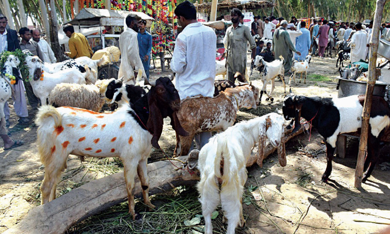 A petitioner moved the SHC alleging that the contract of a cattle market was awarded with parking facility at Hub River Road near Yusuf Goth in Mawach Goth in violation of the law. — Dawn/File