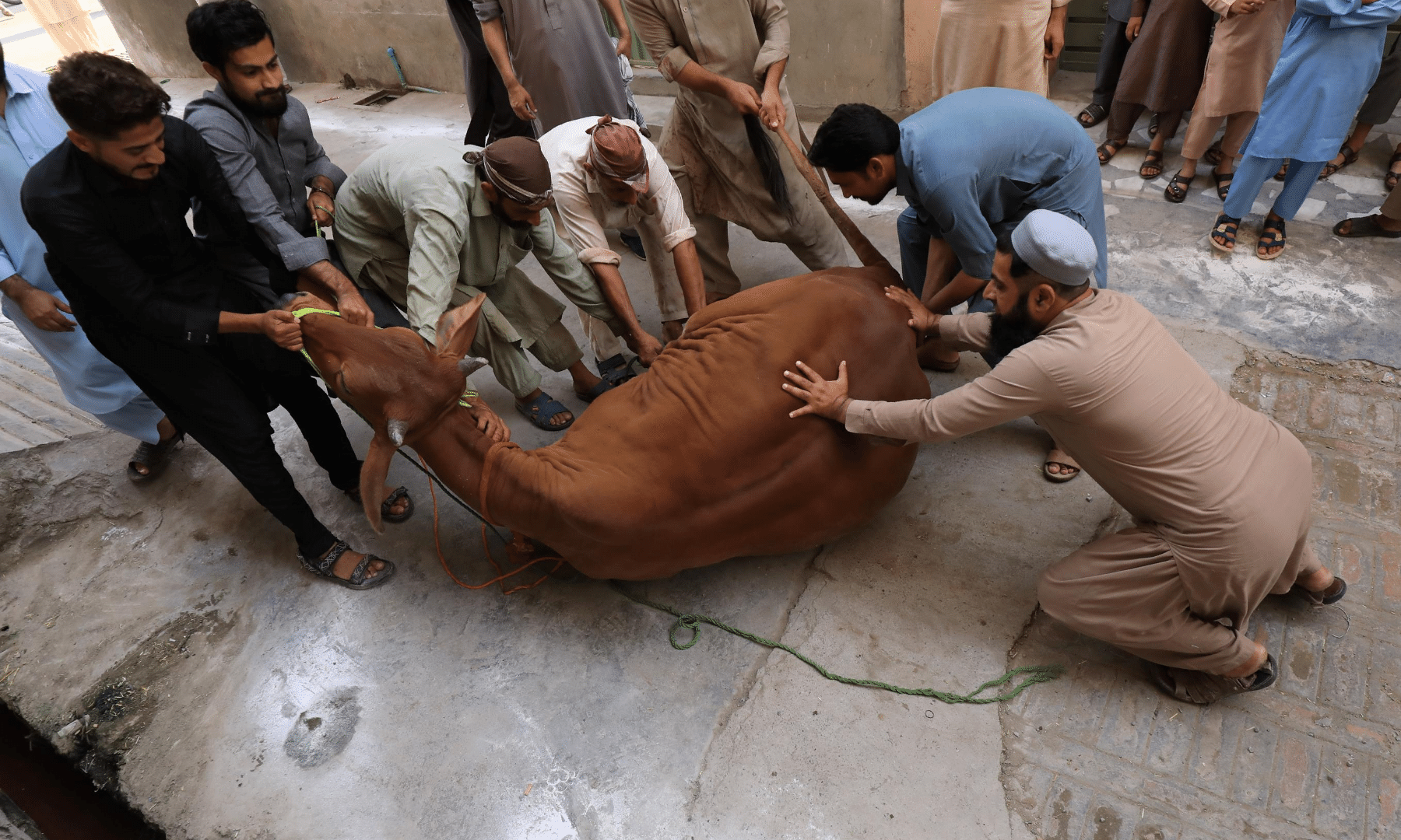 Men control a cow to be slaughtered in Peshawar. — Reuters