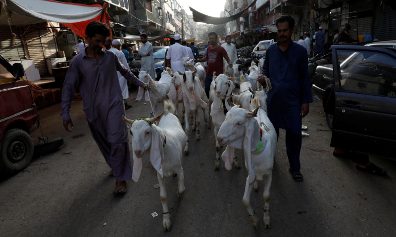 Men lead a pack of goats to be slaughtered on the occasion of Eidul Azha. — Reuters