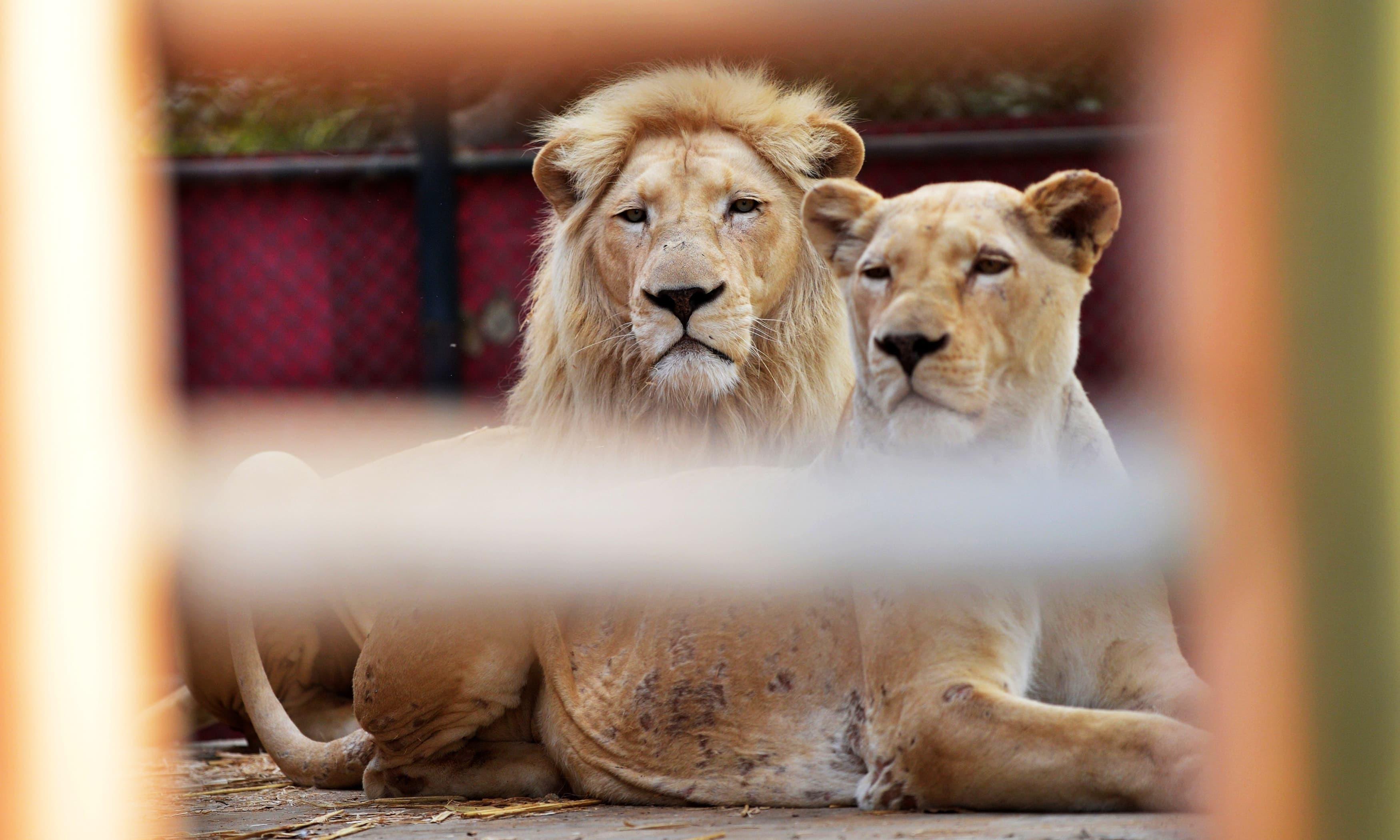 شیر اور شیرنی دونوں 8سال کے تھے— فائل فوٹو: اے ایف پی