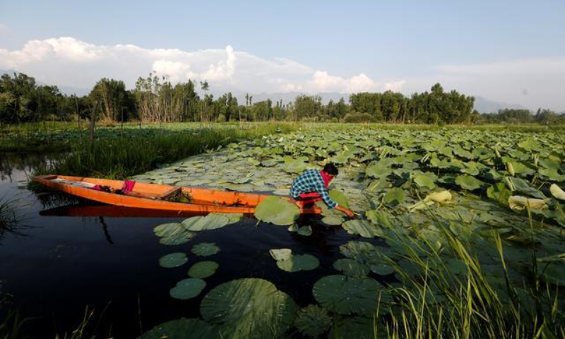 A young man, who gave his name as Sahil and claimed he had been detained three times by police for clashing with troops collects weed from Anchar lake in Srinagar on July 28. — Reuters/File