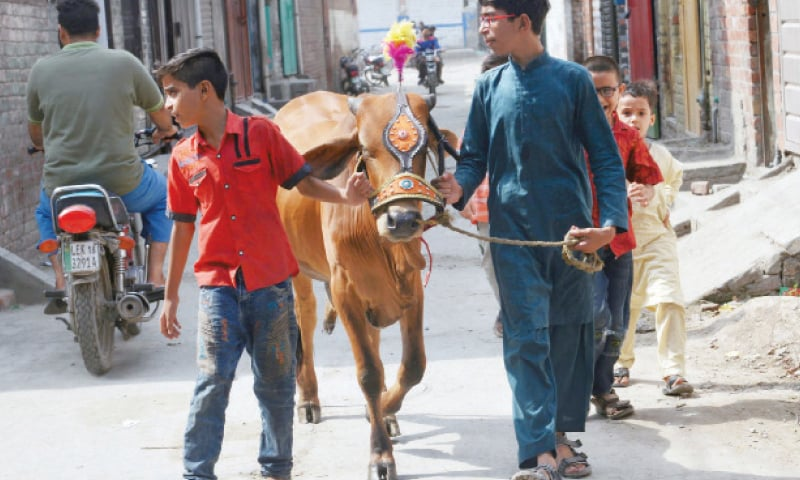YOUNGSTERS carrying their sacrificial animal in a street at Shad Bagh area ahead of Eid-ul-Azha in Lahore.— Online