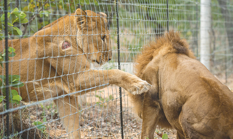 The court was told that the lion and lioness of the zoo that died apparently because of negligence were shifted to a private farmhouse, not to a sanctuary as was directed by the IHC. — AFP/File