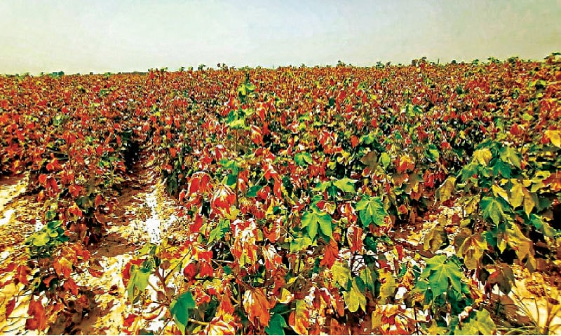 SAHIWAL: Crop damaged by factory pollutants. — Dawn
