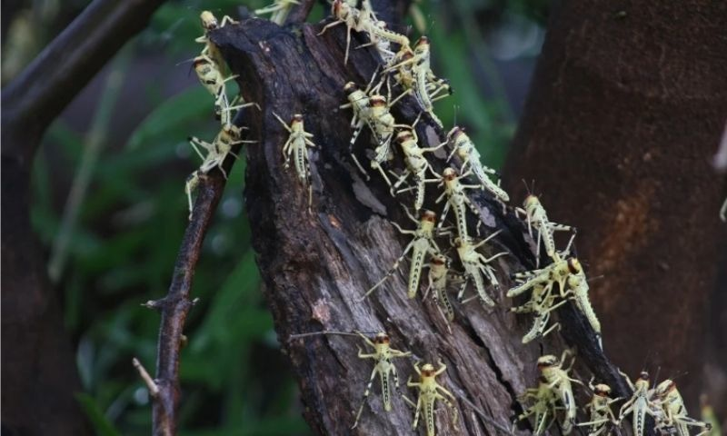Nymphs (baby locusts that cannot fly) on a tree in the Thar desert. — Photo by Ravi Tohani