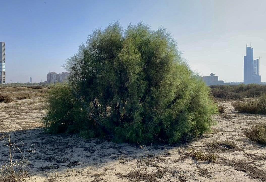 Tamarix Aphylla (Athel Tree) | Marvi Mazhar