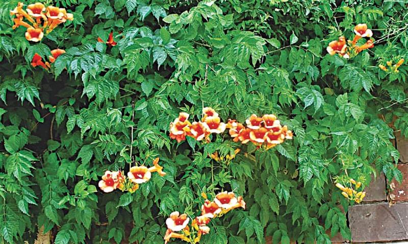 Tecoma grandiflora | Photos by the wirter