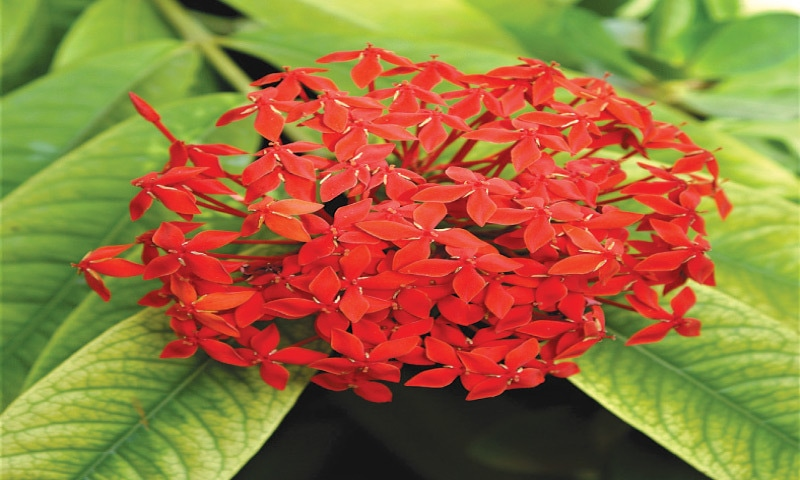 Shrub of the month — Ixora