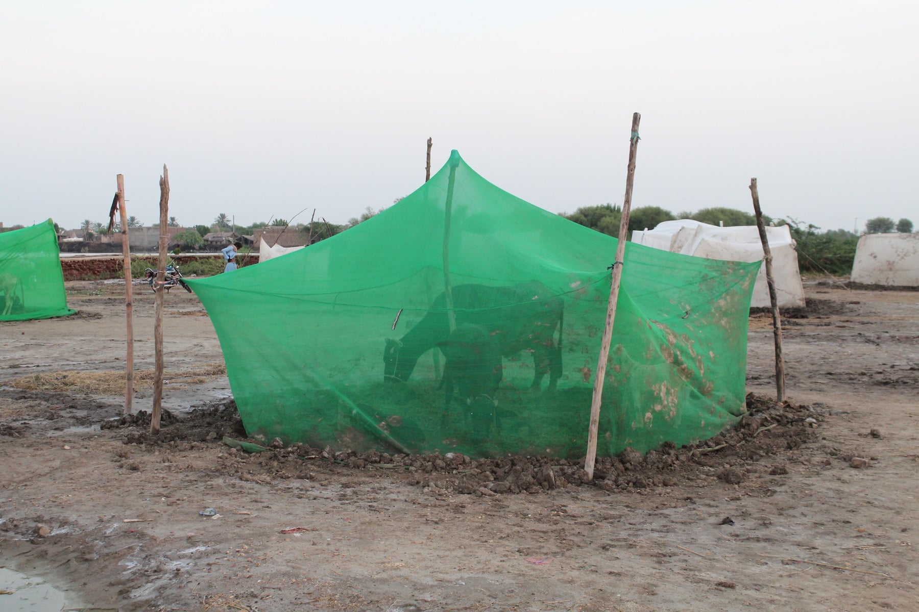 The displaced persons are trying to protect their livestock from mosquitos by keeping them inside mosquito nets.Livestock has died in large numbers due to the swarms of mosquitos that have emerged after the rains. — Photo by author