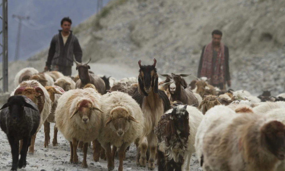 Bakarwal sheep and goats on the move. — WWF