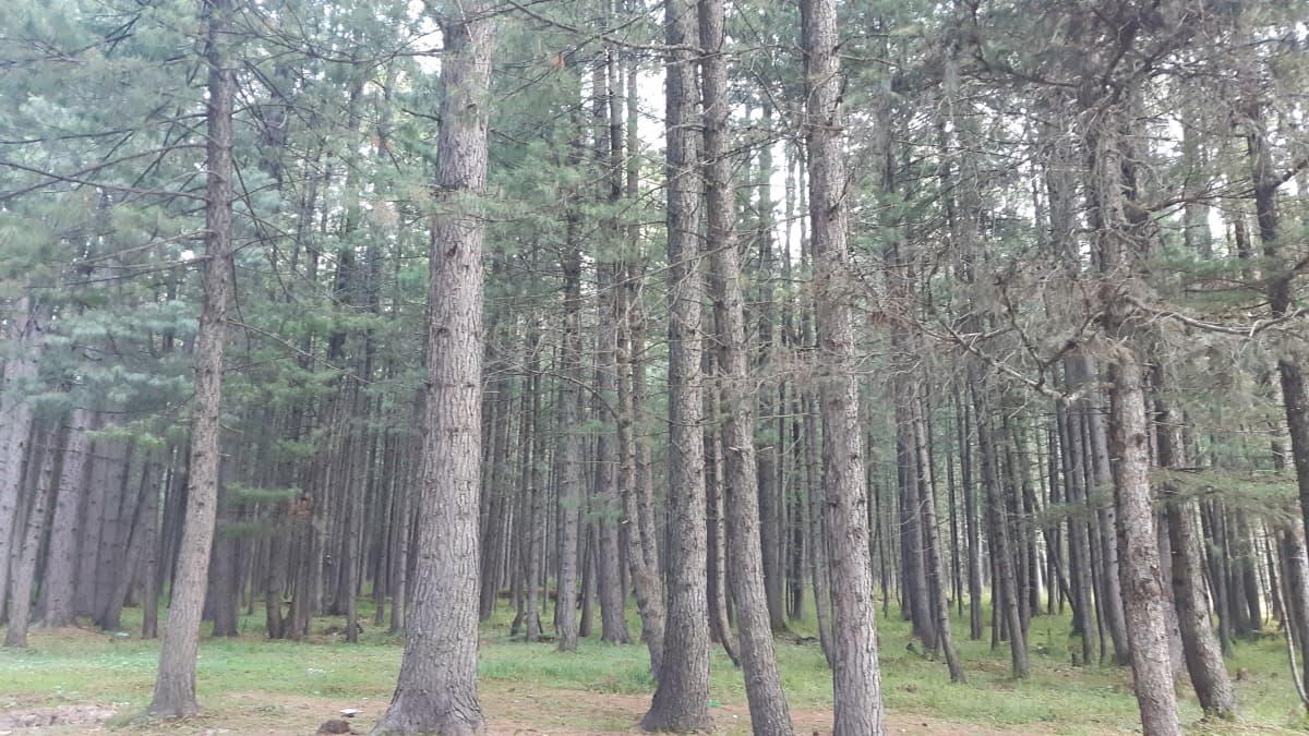The tall dense pine jungles of Kumrat valley.