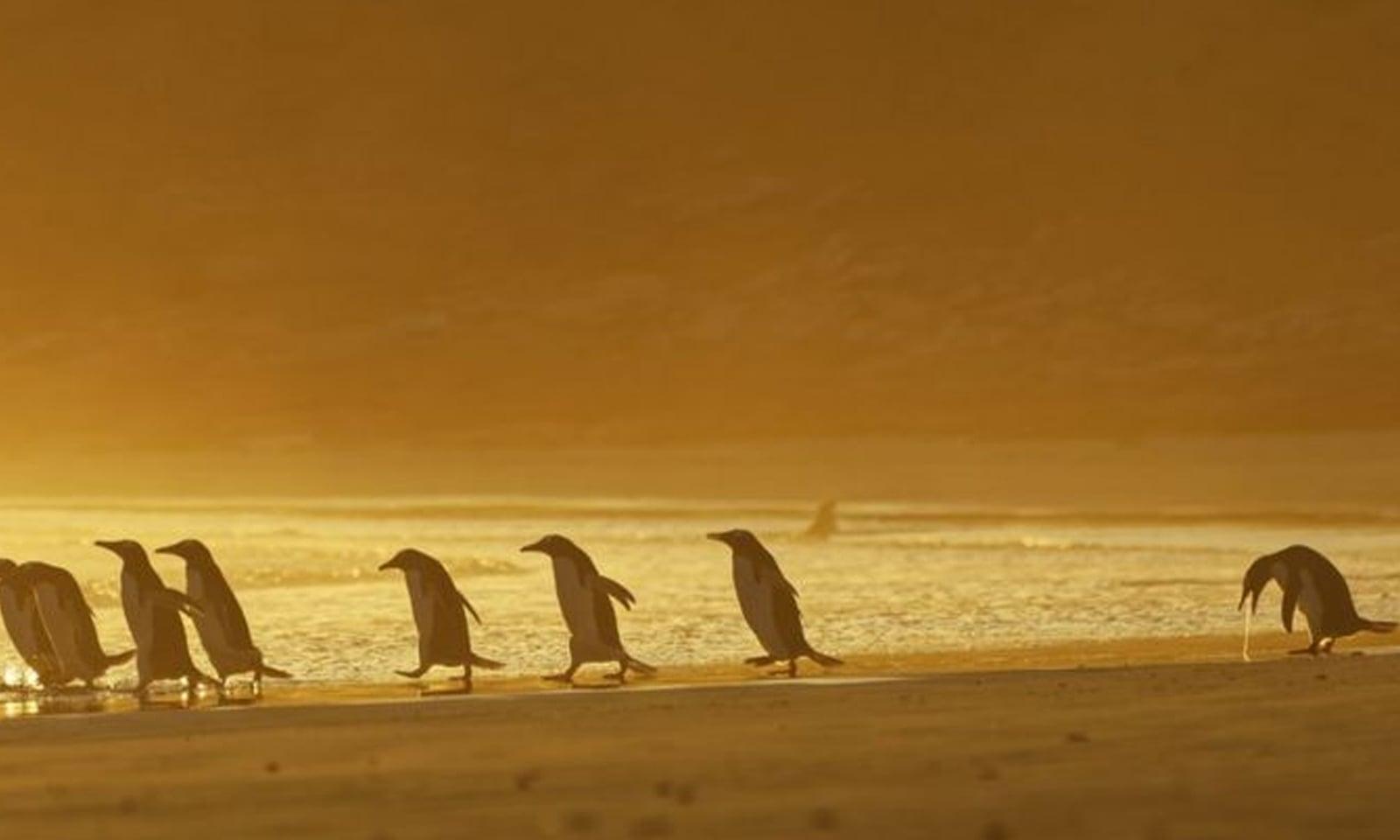 فاک لینڈ جزیرے میں سب سے الگ کھڑا پینگوئن— /فوٹو:کرسٹینا ہالفیلڈر کامیڈی وائلڈ لائف فوٹوگرافی