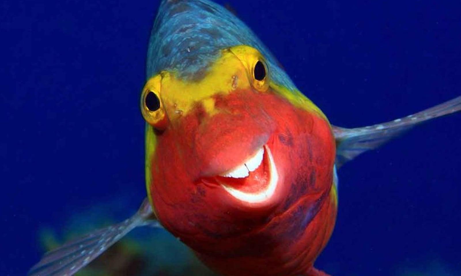 کنیری جزیرے میں ایک مچھلی مسکرارہی ہے—فوٹو:آرتھر ٹیلی تھیمن/کامیڈی وائلڈ لائف فوٹوگرافی