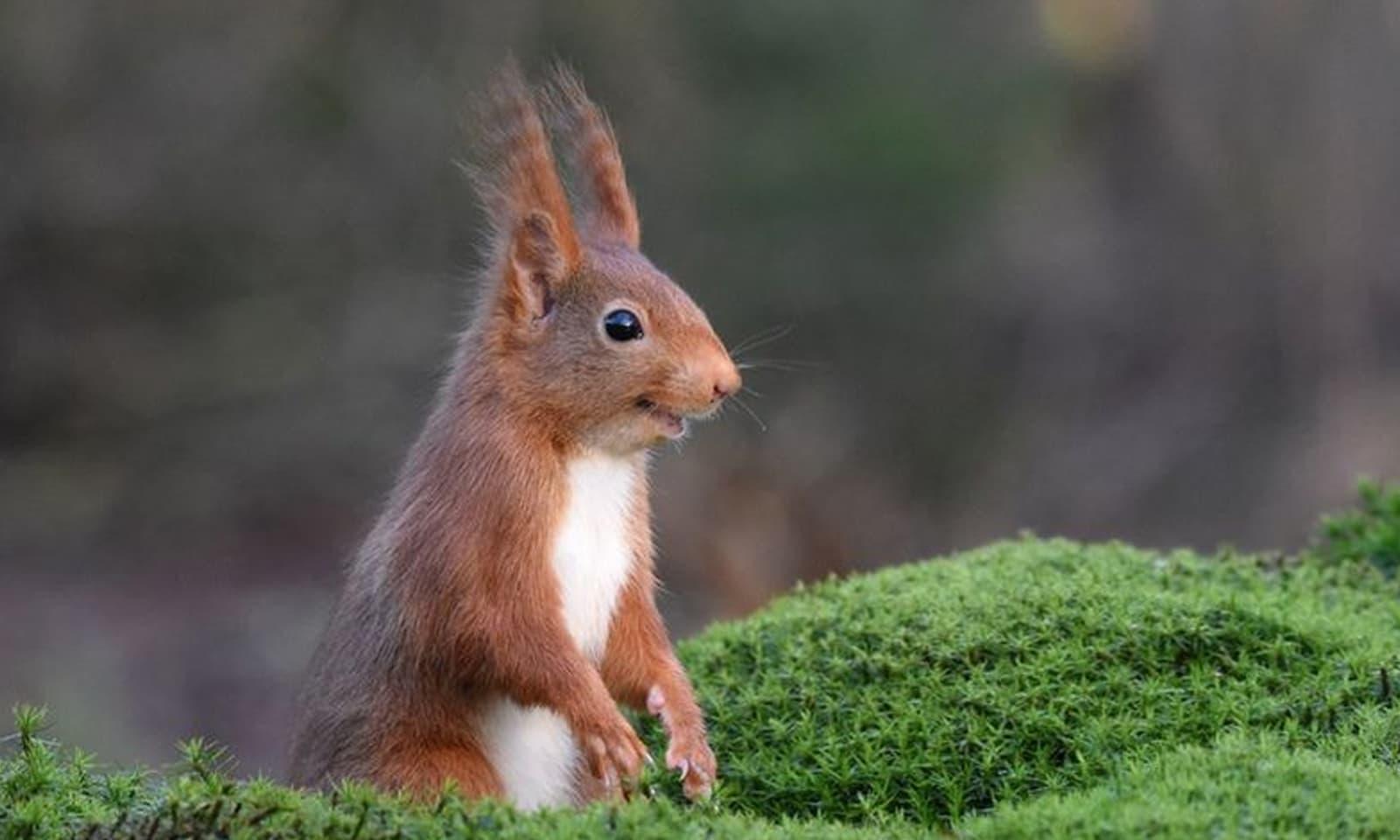 نیدرلینڈز میں ایک خرگوش کوئی لطیفہ یاد آنے پر مسکرارہا ہے —فوٹو: فیمکے وان ولی گین/کامیڈی وائلڈ لائف فوٹوگرافی
