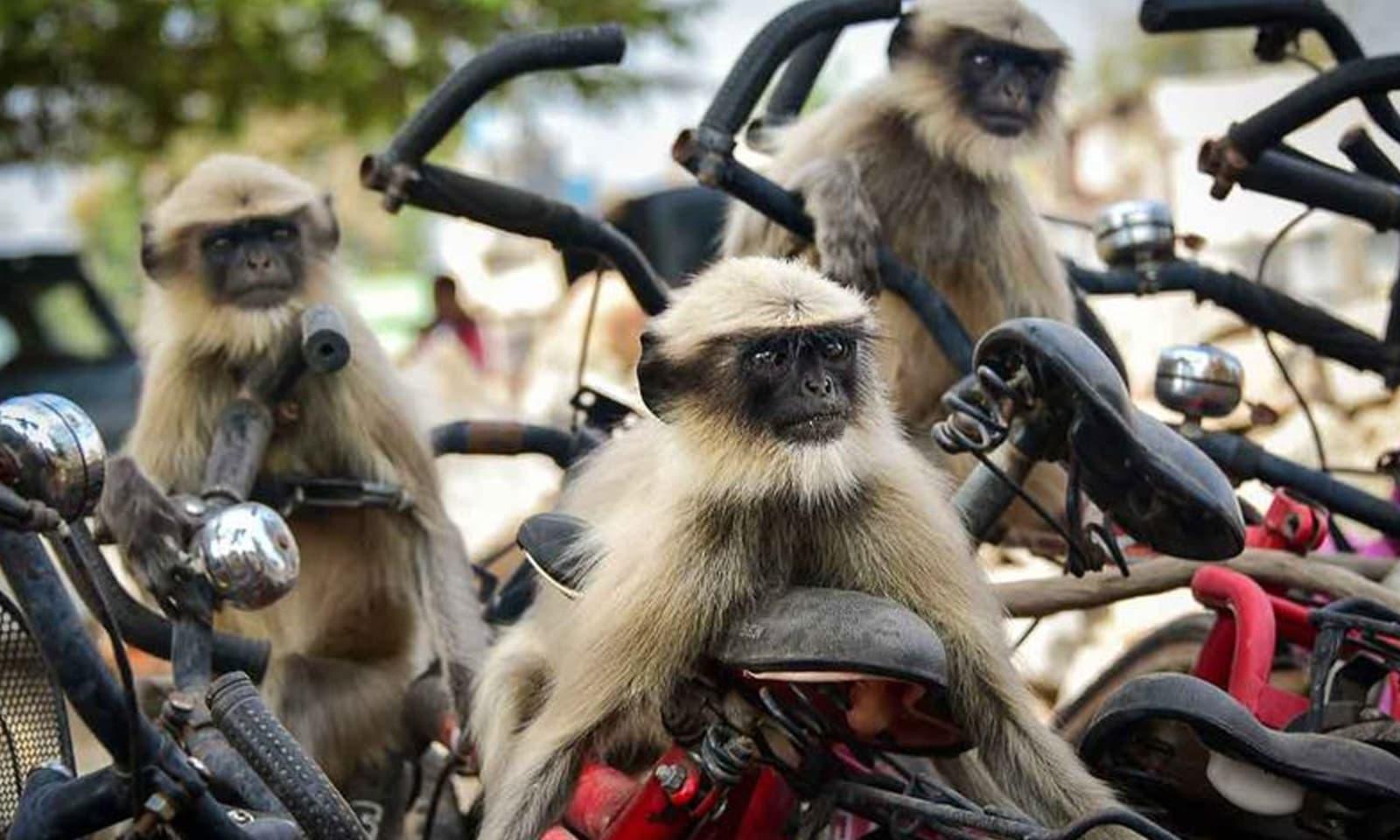 یہ بندر سائیکل ریس میں شاید  حصہ لیں گے—فوٹو:ییوہن سموچینکو /کامیڈی وائلڈ لائف فوٹوگرافی