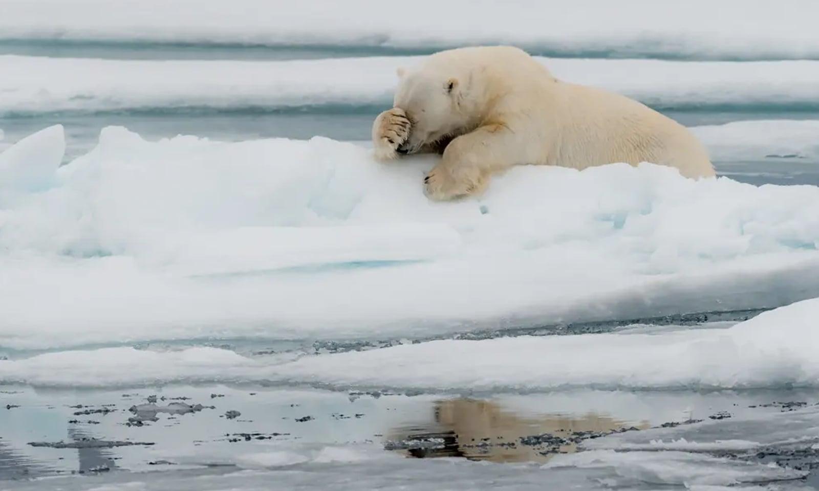 ناروے میں ایک اداس برفانی ریچھ—فوٹو: جیکویس پولارڈ /کامیڈی وائلڈ لائف فوٹوگرافی