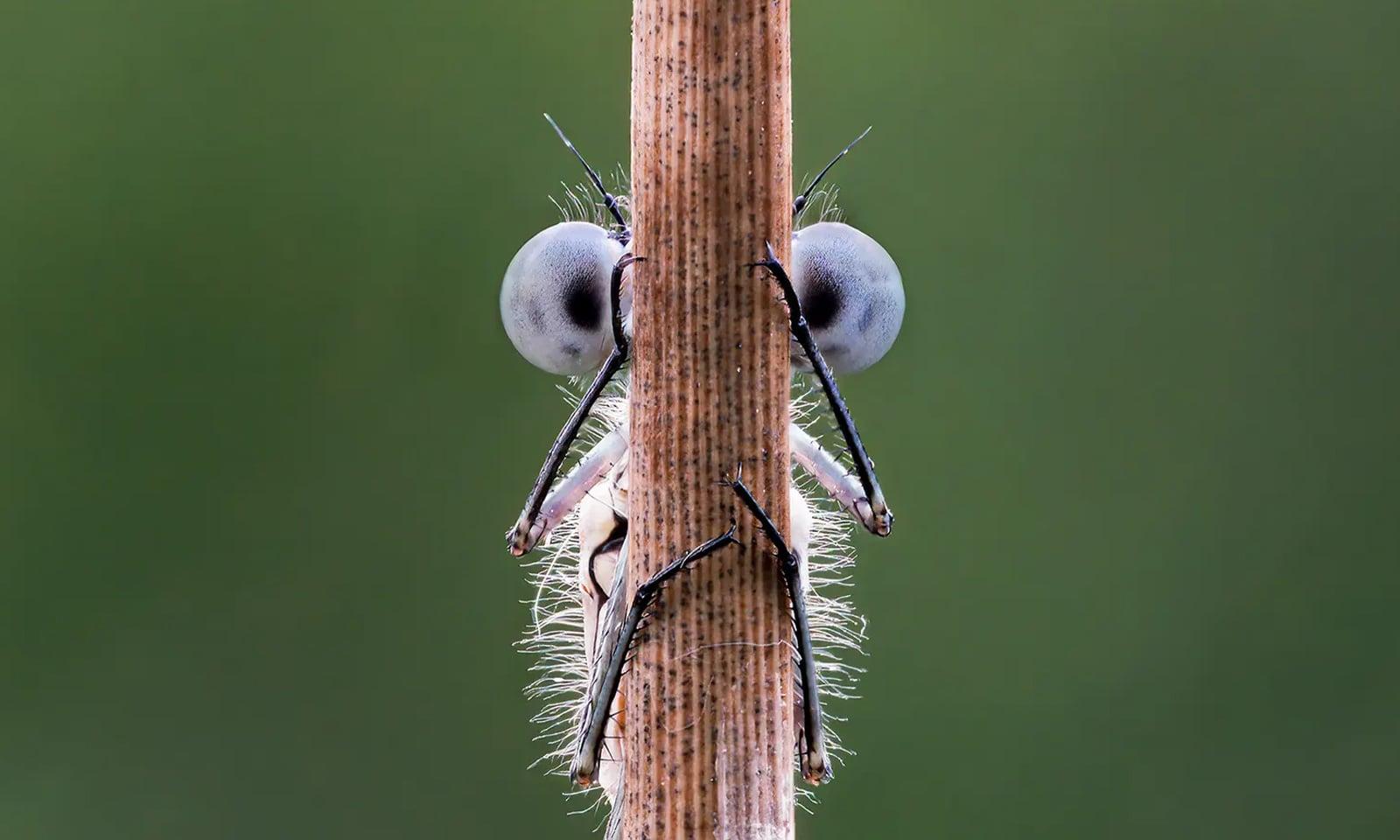 برطانیہ میں ڈیمز فلائے آنکھ مچولی کھیلتے ہوئے—فوٹو: ٹم ہیئرن/کامیڈی وائلڈ لائف فوٹوگرافی