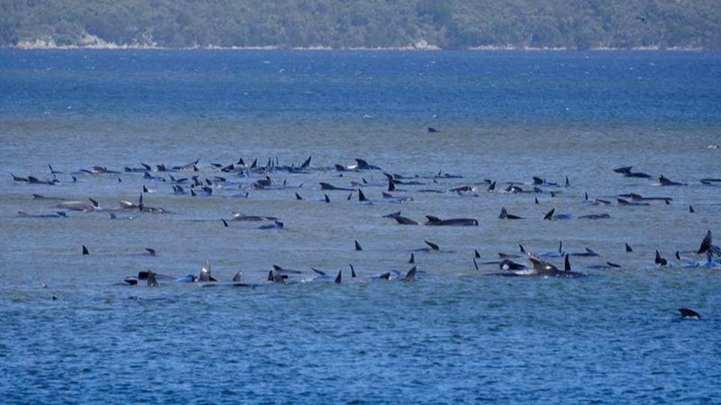 Tasmania's Department of Primary Industries, Parks, Water and Environment said the whales were stranded in three groups in shallow water at Macquarie Heads. — Reuters