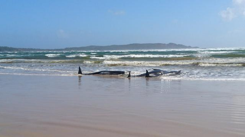 Stranded pilot whales are seen on a sandbar in Macquarie Heads, Tasmania, Australia. — Reuters