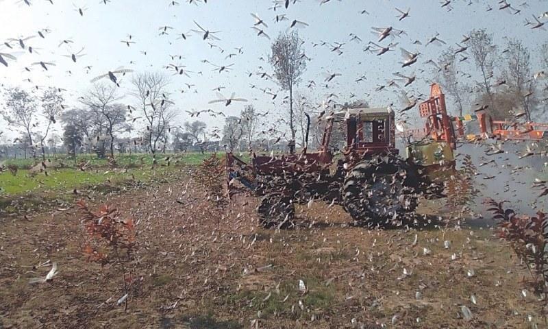 حکومت سندھ نے گزشتہ سال فصلوں کو نقصان سے بچانے کے لیے ٹڈی دل کے خلاف مہم کا آغاز کیا تھا — فائل فوٹو / اے ایف پی