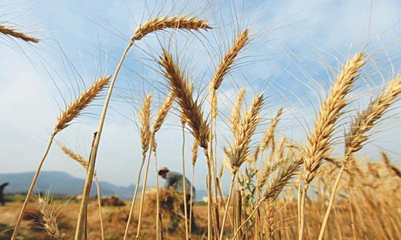 The wheat production target for the 2019-20 crop had been set at 25.45m tonnes. — Reuters/File