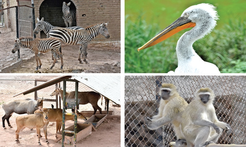 Clockwise from left: Zebras, a pelican, monkeys and nilgai are some of the animals shifted to Ayub Park from Marghazar Zoo. — Photos by Tanveer Shahzad