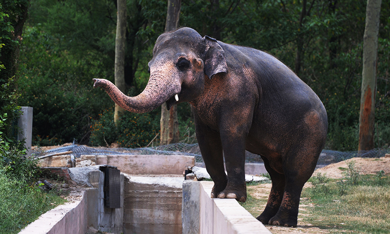 This photograph taken on June 30, 2016, shows Kaavan next to a moat at the Marghazar Zoo in Islamabad. — AFP/File