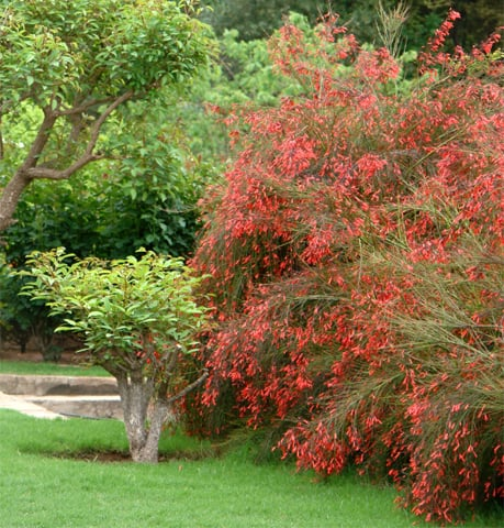 Shrub of the month: Russelia