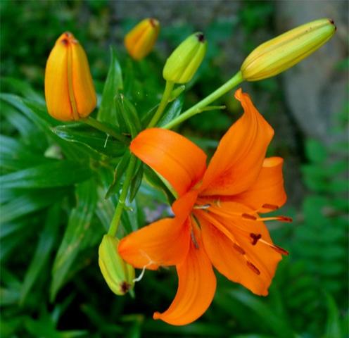 Asiatic lily Orange enchantment
