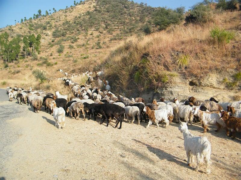 بکریوں کا ریوڑ ہجرت کرتے ہوئے—فوٹو: محمد نفیس