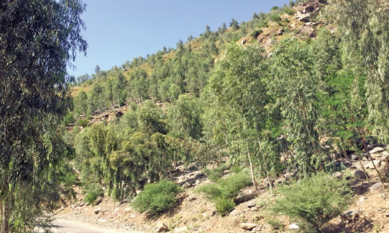 A view of the trees planted in Chakesar area of Shangla. — Dawn