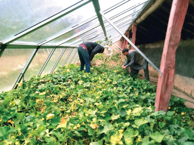 Farmers work in a greenhouse in Garam Chashma. — Dawn