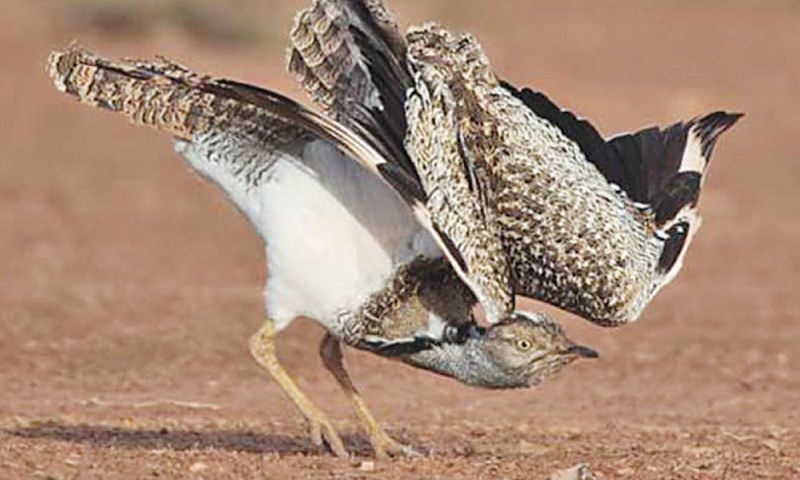 The third batch of highly rare bird species, houbara bustard, which were bred in captivity in a Gulf state, were released in the Cholistan desert. — Dawn/File