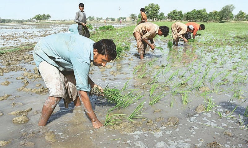 Covid-19, locusts affected livelihoods of Sindh's farmers: ADB survey