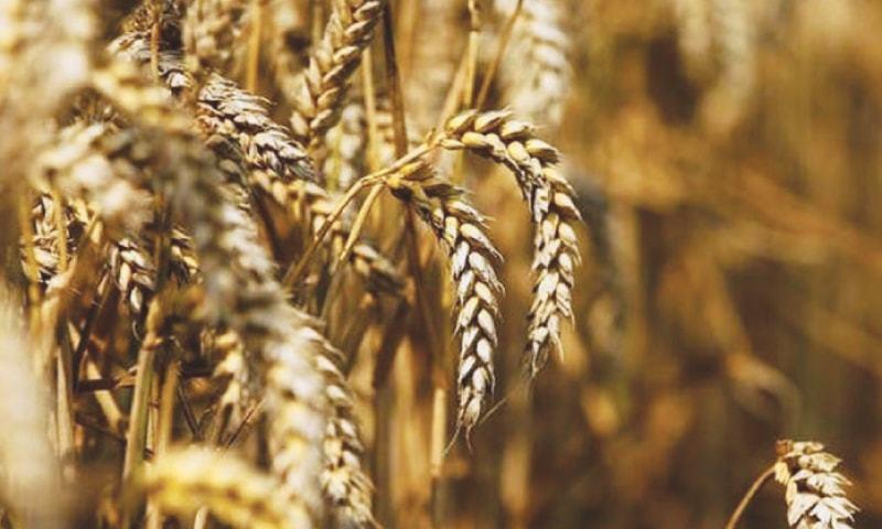 اقتصادی رابطہ کمیٹی نے 3لاکھ 40ہزار ٹن گندم درآمد کرنے کی منظوری دے دی—