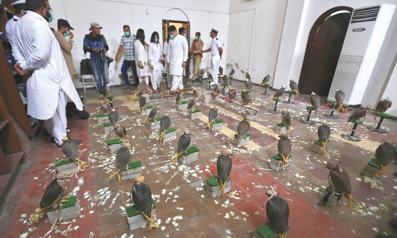 Karachi: Customs officials display the confiscated falcons here on Saturday. — AP